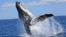 Whale Watching - Half Day Trip Aboard QuickCat II - Hervey Bay