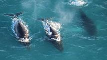 Whale Watching Scenic Flight - 30 Minutes