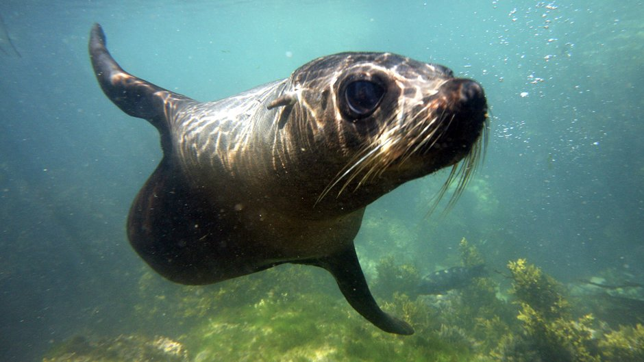 Snorkelling with wild New Zealand Fur Seals, in the shallow waters of the beautiful Kaikoura Peninsula. A very rare unique experience, anywhere in the world.