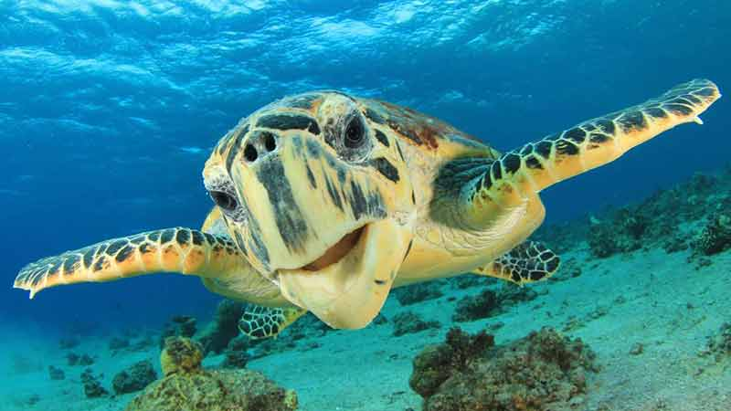 Join the team at Turtle Tours Whitsundays for a 45 minute Turtle discovery cruise in the smooth water bays in Airlie Beach