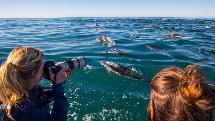Kaikoura - Dolphin Encounter (Watch Option)