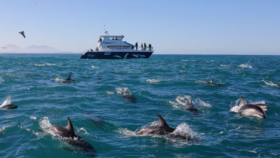 Take the opportunity to interact and swim with the incredible dusky dolphins of Kaikoura!