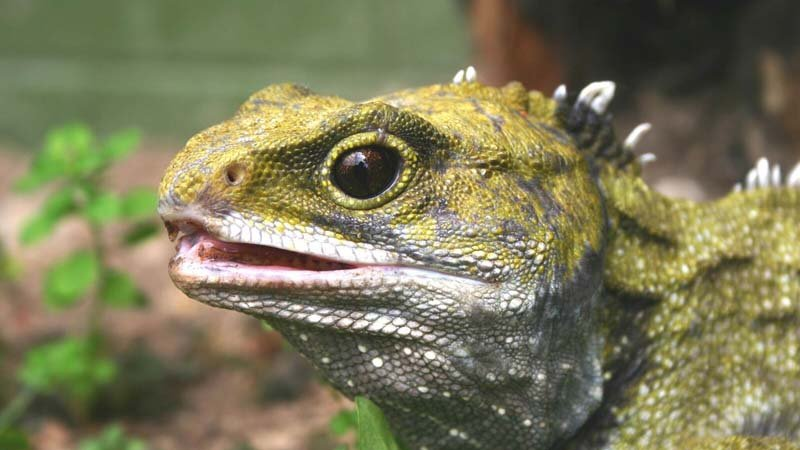 "The ""behind the scenes"" Tuatara Encounter at the West Coast Wildlife Centre in Franz Josef, West Coast of New Zealand, is a fascinating exclusive tour. Here you can view up-close the prehistoric tuatara that is endemic only to New Zealand."